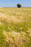Summer field with lone tree Stock Image