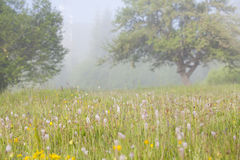 Summer field in morning fog Stock Images