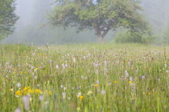 Summer field in morning fog Stock Photography