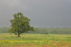 Summer, field and oak, rain. Y day Royalty Free Stock Photos
