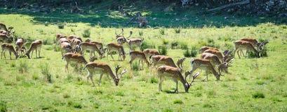 Summer field panorama of fallow deer herd Stock Image