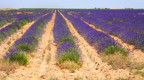 Summer field with plant of blue lavender royalty free stock photos