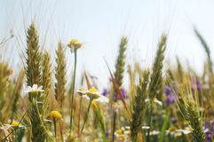 Summer field plants Stock Photography