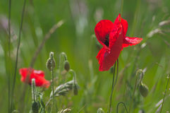 Summer field with poppies Royalty Free Stock Image