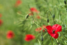 Summer field with poppies Royalty Free Stock Photography