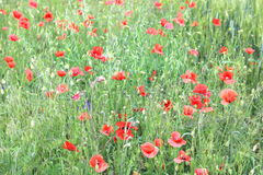 Summer field with poppy flowers Royalty Free Stock Images