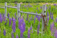 A summer field of purple lupines with a rickety wooden fence stock photo