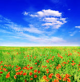 Summer field of red poppies on a background blue s Royalty Free Stock Images