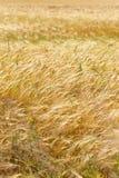 Summer Field of the ripe Barley Stock Photos