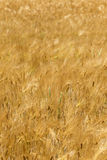 Summer Field of the ripe Barley Stock Image