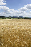 Summer Field of the ripe Barley Royalty Free Stock Photography