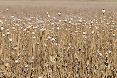 Summer Field of the ripe white Poppy Royalty Free Stock Photos