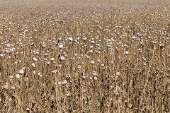 Summer Field of the ripe white Poppy Stock Images