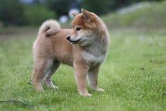 Summer field shiba inu puppy Stock Image
