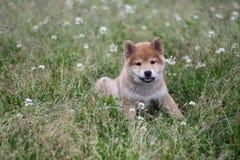 Summer field shiba inu puppy Royalty Free Stock Photography