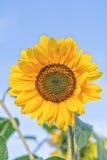 Summer field, sunflower Royalty Free Stock Photo