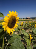 Summer field of sunflowers royalty free stock images