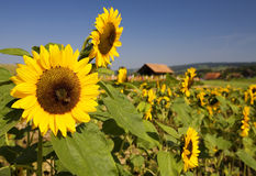 Summer field of sunflowers royalty free stock image