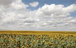 Summer field of sunflowers. Photo #1 Stock Image
