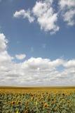 Summer field of sunflowers. Photo #2 Stock Photos
