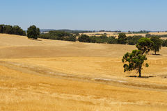 Summer field. Tree in the field in a really hot day in summer Royalty Free Stock Photo