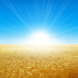 Summer field under the morning sun. Fresh field of golden wheat growing slowly under the rising sun Stock Images
