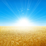 Summer field under the morning sun. Fresh field of golden wheat growing slowly under the rising sun. White birds fly up high Stock Images