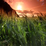 Summer field of wheat Stock Photography