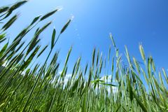 Summer field of wheat Royalty Free Stock Photography
