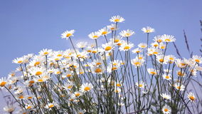 Summer field with white daisies stock video