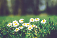 Summer Field with White Daisies Royalty Free Stock Photos