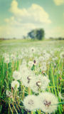 Summer field with white dandelions Stock Images