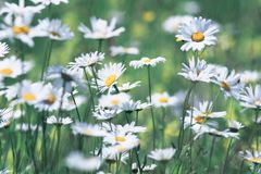 Summer field with white delicate flowers daisies Stock Photo