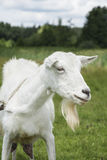 In the summer the field is white goat. Royalty Free Stock Images