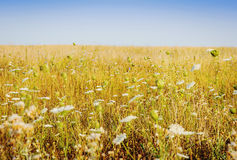 Summer field with wild flowers Stock Image