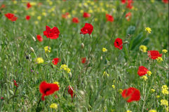 Free Summer Field With Poppies Stock Photos - 14570433