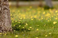 Summer meadow covered with yellow dandelions Stock Photo