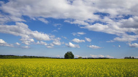 Summer field of yellow flowers. A summer field of yellow flowers with blue skies and white clouds Royalty Free Stock Photography