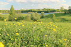 Summer field with yellow flowers Stock Photos