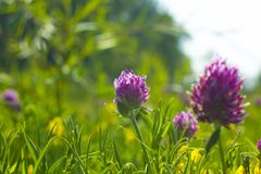 Summer field with pink flowers Clover, soft focus royalty free stock image