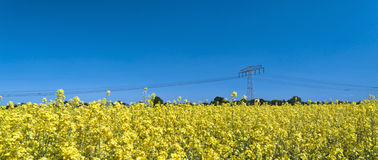 Summer fields. A field of the yellow flowers with the blue sky and a power line on the background Royalty Free Stock Photo