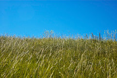 Summer fields. Flower field and a blue sky Royalty Free Stock Photo