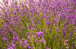Flowering mountain lavender. Fragrant wild flowers Royalty Free Stock Image