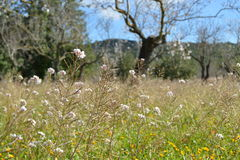 Summer filed of flowers. In Mallorca Royalty Free Stock Image