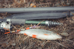 Summer fishing on the lake with a fishing rod. Morning catch of fish roach on a fishing rod with a float Royalty Free Stock Photo