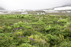Summer flora, snow, fog, Iceland Royalty Free Stock Images