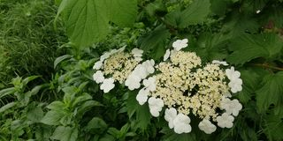 Summer floral background. Delicate white inflorescences of viburnum against a background of dark green leaves. Bright contrast. Colors. Large white flowers are stock images
