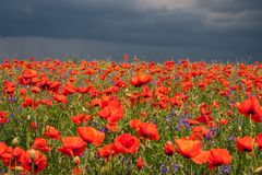 Flowers of red poppies. Summer landscape with red poppies. royalty free stock photography