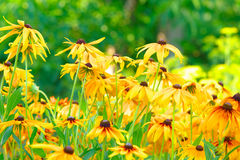 Summer Floral Background of Rudbeckia Flowers Royalty Free Stock Photography