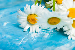 Summer Floral card with chamomile flower over blue vintage paint Royalty Free Stock Photography